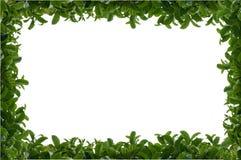 Grünes belaubtes Heckefeld Lizenzfreie Stockbilder