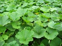 Grünes Bett der Blätter des Kürbises Stockfotografie