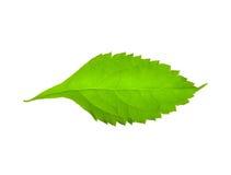 Grünes Blatt. Stockbilder