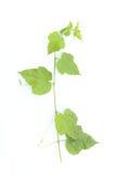 Grünes Blatt Stockbilder
