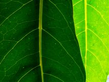 Grünes Blatt 2 Stockfotografie