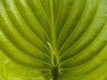 Grünes Blatt Lizenzfreie Stockbilder