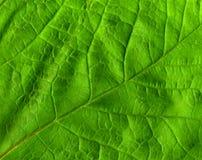 Grünes Blatt. Lizenzfreie Stockbilder