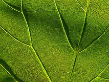 Grünes Blatt 4 stockbild