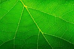 Grünes Blatt Lizenzfreies Stockbild