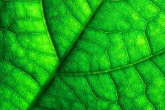Grünes Blatt adert Makronahaufnahme Stockfotografie