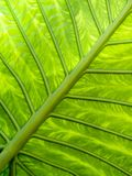 Grünes Blatt adert Muster Lizenzfreie Stockbilder