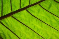Grünes Blatt adert Struktur Stockfotografie