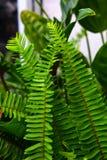 Grünes Blatt, Adlerfarn Stockbilder