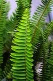 Grünes Blatt, Adlerfarn Stockfotografie