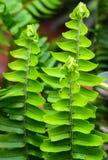 Grünes Blatt, Adlerfarn Lizenzfreie Stockfotografie