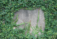 Grünes Blatt auf der Betonmauer Stockbild