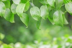 Grünes Blatt auf der Niederlassung, im Freien, Stockbild