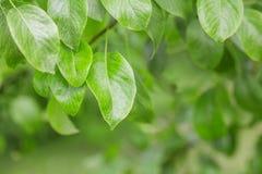 Grünes Blatt auf der Niederlassung, im Freien, Lizenzfreies Stockbild