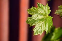 Grünes Blatt auf einem roten Hintergrund Stockbild