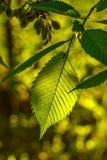 Grünes Blatt auf einer Niederlassung beleuchtete durch einen Sonnenstrahl Lizenzfreie Stockfotografie