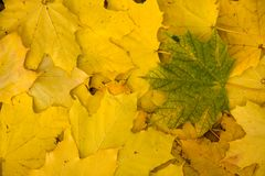 Grünes Blatt auf gelben Blättern Stockbilder