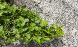 Grünes Blatt auf konkretem Boden Stockfoto