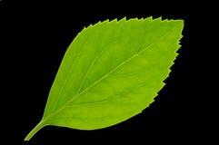 Grünes Blatt auf Schwarzem Stockfoto