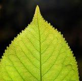 Grünes Blatt auf Schwarzem Stockfotos