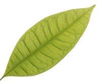 Grünes Blatt auf Weiß Stockbild