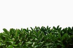 Grünes Blatt auf Weiß Stockfoto