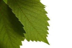 Grünes Blatt auf weißem Hintergrund Stockfotos