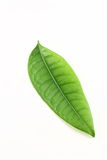 Grünes Blatt auf weißem Hintergrund Stockfoto