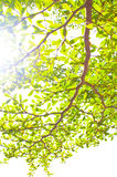 Grünes Blatt auf weißem Hintergrund Stockbild