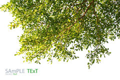Grünes Blatt auf weißem Hintergrund Lizenzfreies Stockbild