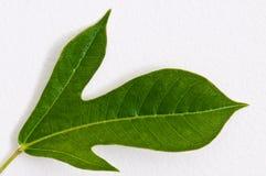 Grünes Blatt auf weißer Wand Lizenzfreies Stockbild