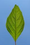 Grünes Blatt-blauer Himmel Lizenzfreies Stockbild