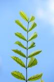 Grünes Blatt-blauer Himmel Lizenzfreies Stockfoto