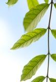 Grünes Blatt-blauer Himmel Stockfotos