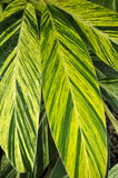 Grünes Blatt, botanischer Garten (Rio de Janeiro, Brasilien) Stockbilder