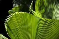 Grünes Blatt, botanischer Garten (Rio de Janeiro, Brasilien) Lizenzfreies Stockbild