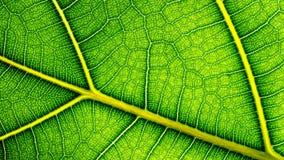 Grünes Blatt couse oben Lizenzfreie Stockfotografie