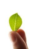 Grünes Blatt in den Fingern Stockfotos