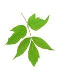 Grünes Blatt der Ahornasche (Acer-negundo) lokalisiert auf Weiß Stockbild