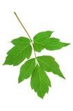 Grünes Blatt der Ahornasche (Acer-negundo) lokalisiert auf Weiß Stockfoto