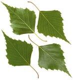 Grünes Blatt der Birke Stockfotos