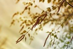 Grünes Blatt der Birkennahaufnahme, Frühlingshintergrund Stockfoto