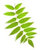 Grünes Blatt der Eberesche mit gelben Adern auf einem weißen Hintergrund Lizenzfreies Stockbild
