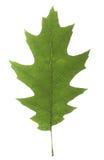 Grünes Blatt der Eiche mit hellen Adern auf einem weißen Hintergrund Lizenzfreie Stockfotografie