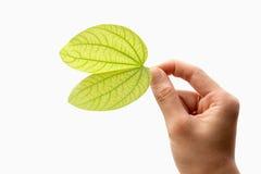 Grünes Blatt in der Hand auf weißem Hintergrund Lizenzfreie Stockbilder