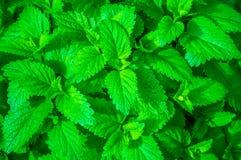 Grünes Blatt der jungen Minze Stockfoto