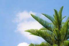 Grünes Blatt der Kiefer lizenzfreie stockfotografie