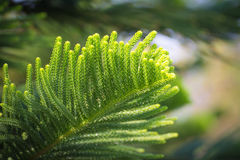 Grünes Blatt der Kiefer lizenzfreie stockfotos