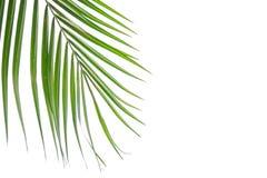 Grünes Blatt der KokosnussPalme lokalisiert auf weißem Hintergrund Stockbild