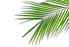 Grünes Blatt der KokosnussPalme lokalisiert auf weißem Hintergrund Stockfotografie